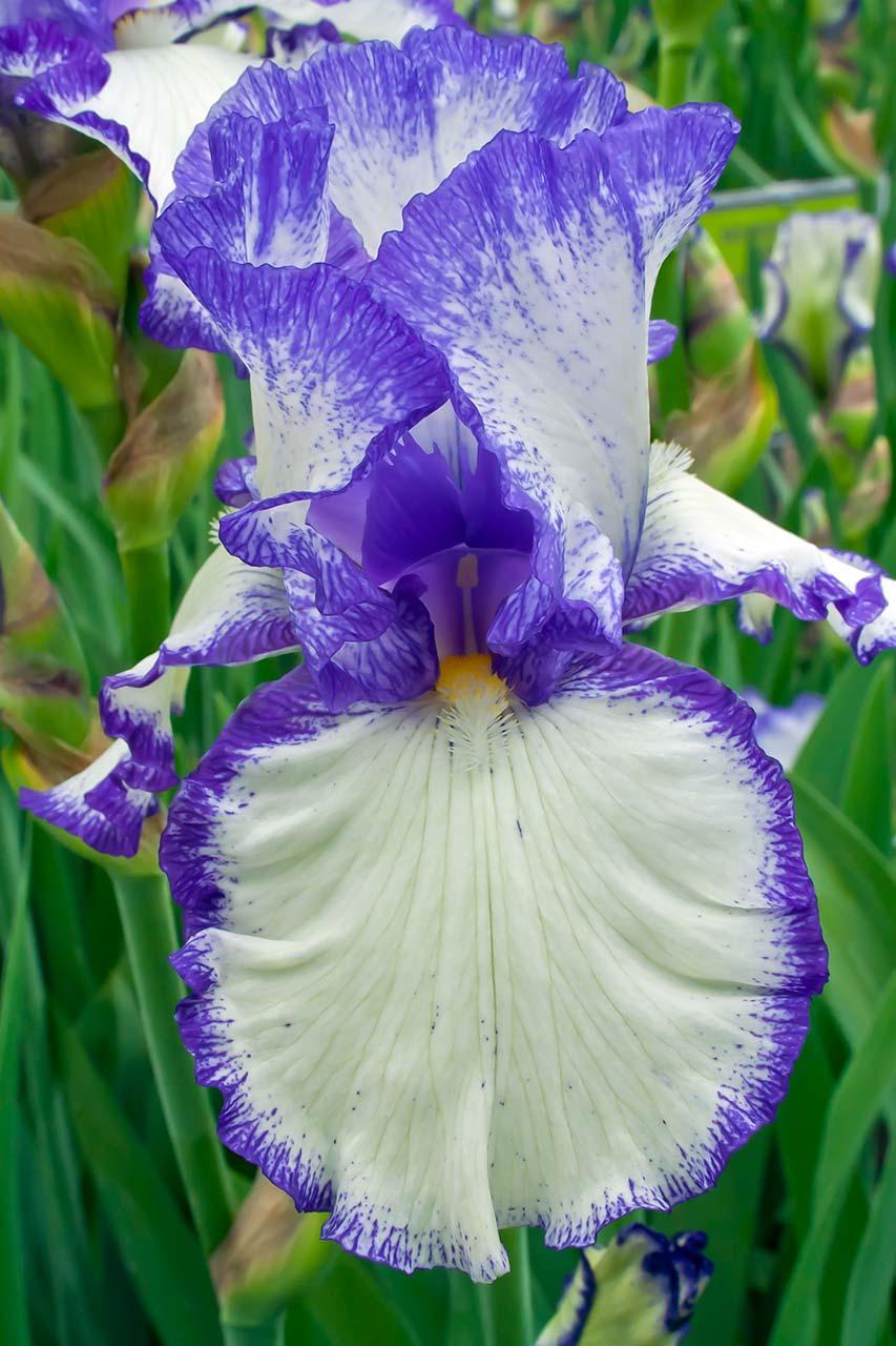 Presby's-Crown-Jewel----The-Presby-Memorial-Iris-Gardens-b14a-end-(1)